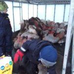 В Норвегии дети приняли участие в забое и разделке оленей